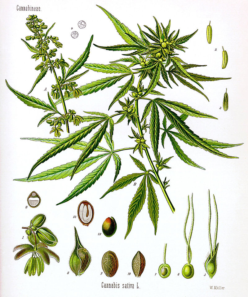 800px-Cannabis_sativa_Koehler_drawing